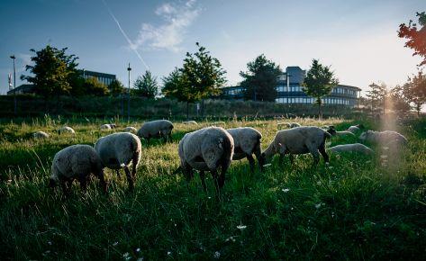 Schafe am Campus Melaten